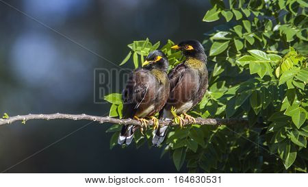 Indian mynah in Ella, Sri Lanka ; specie Acridotheres tristis family of Sturnidae