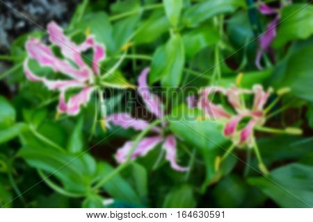 Blurred Gloriosa flower blooming in the garden stock photo