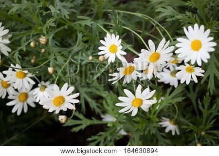 Beautiful white daisy flower blooming stock photo