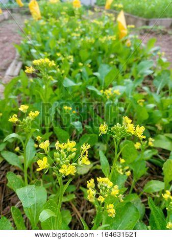 Fresh lettuce cantonese in farm Selective focus