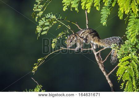 Indian palm squirrel in Ella, Sri Lanka ;specie Funambulus palmarum family of Sciuridae