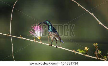 Long-billed sunbird in Ella, Sri Lanka ;specie Cinnyris lotenius family of Nectariniidae