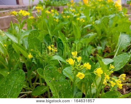 Fresh organic lettuce cantonese in farm, selective focus