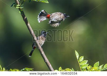 Red-vented bulbul in Ella, Sri Lanka ; specie Pycnonotus cafer family of Pycnonotidae