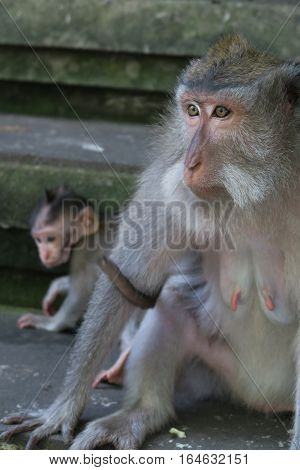 A mother monkey protecting her child in Ubud Monkey temple