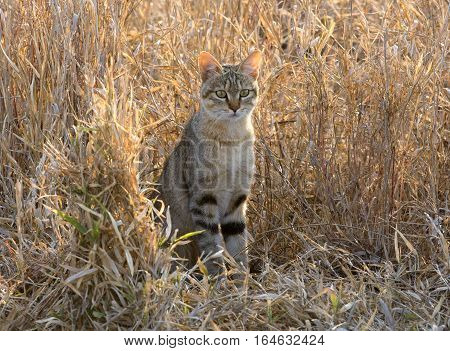 A wild cat in Africa watches small birds intently.