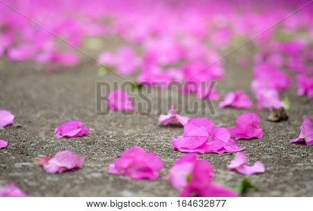 Bougainvillea flowers fall on the concrete floor.