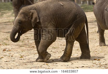 photo of a young Asian Elephant with it's trunk in it's mouth