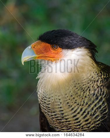 Closeup of Nothern caracara in the Natural park of Monasterio de Piedra in Nuevalos, Zaragoza, Spain