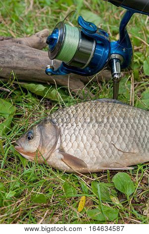 One Crucian Fish On Green Grass. Catching Freshwater Fish And Fishing Rod With Fishing Reel On Green