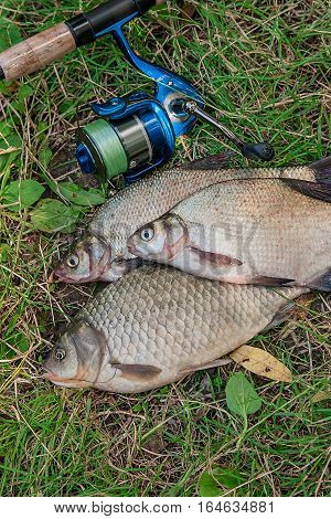 Several Common Bream Fish, Crucian Fish, Roach Fish, Bleak Fish On The Natural Background. Catching