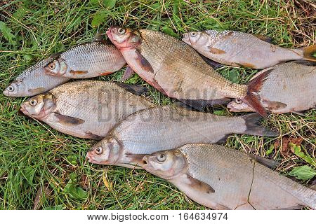 Pile Of The Common Bream Fish, Crucian Fish, Roach Fish, Bleak Fish On The Natural Background..