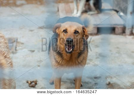 Homeless dog in a shelter cage. Dog growls