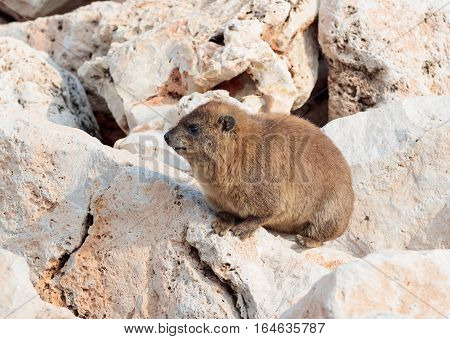 mountain rabbit sitting between rocks on the morning in Rosh Hanikra Israel