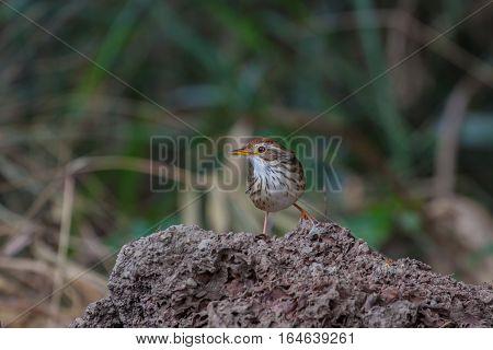 Beautiful Bird Puff-throated Babbler In The Nature
