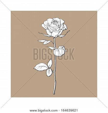Deep contour rose flower with green leaves, sketch style vector illustration isolated on brown background. Realistic hand drawing of open rose, symbol of love, decoration element