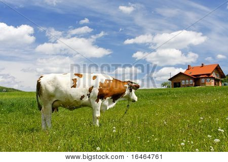 New house and cow on green field