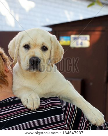 The Little Labrador Puppy On A Shoulder