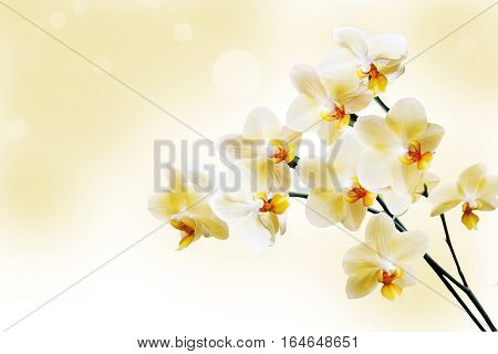 Beautiful lilac orchid flower phalaenopsis with copyspace