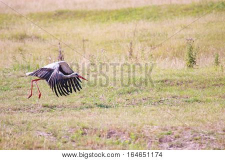 white stork gains altitude in fly. White Stork in flight