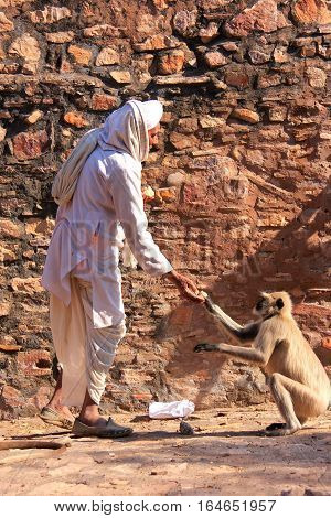 Ranthambore, India - February 2: An Unidentified Man Feeds Gray Langur On February 2, 2011 In Rhanta