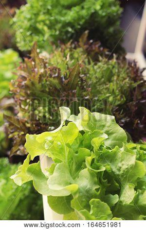 Fresh lettuce hydroponics for health in garden