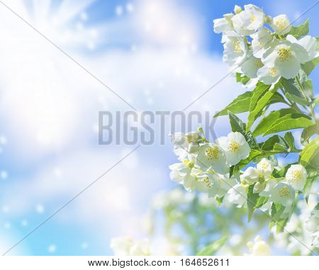 Spring background with flowering jasmine on the sky background with clouds