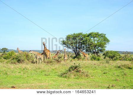 Family Of Giraffes In Nairobi National Park, Kenya