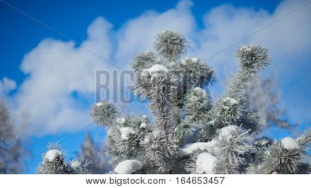 Fur-tree branch with ice and snow. Close-up