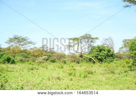 Savannah Landscape With Acacias