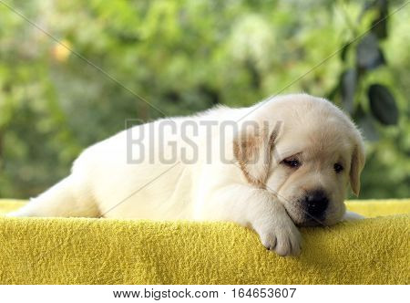 A Little Cute Labrador Puppy On A Yellow Background