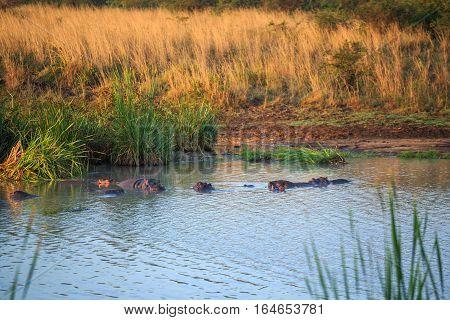 Hippopotamus Family Resting In A Lake, Kenya, East Africa