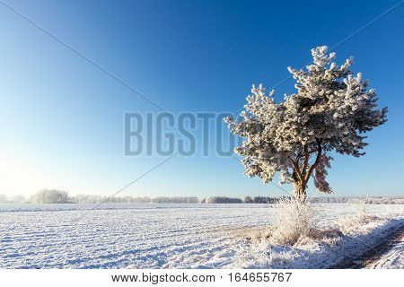 Single Frozen Pine Next To Meadow Covered By Snow