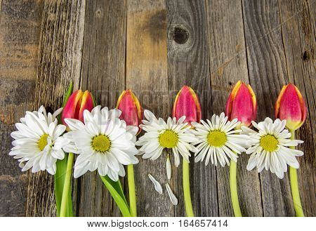 row of white daisy flowers and red tulips on rustic barn wood