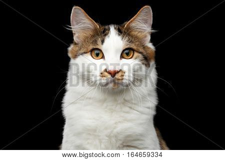 Close-up Portrait of white Kurilian Bobtail Cat with spot on nose looking in camera on isolated black background, front view