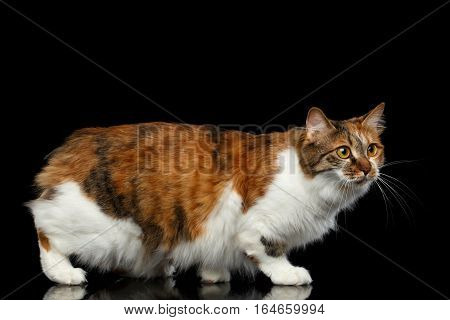 Crouch Ginger with white Kurilian Bobtail Cat without tail on isolated black background, walk side view