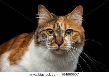 Close-up Portrait of Ginger with white Kurilian Bobtail Cat Looking in camera on isolated black background, front view