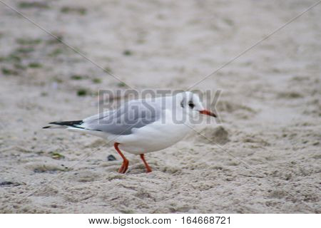 seagull bird on sea beach in autumn