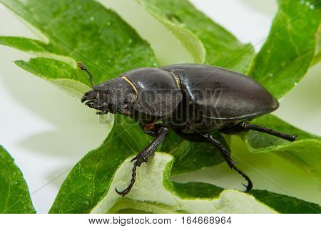 Closeup of common stag beetle female (Lucanus cervus) sitting on oak leaf