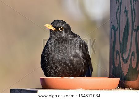 blackbird siting on feeder during winter birdwatching