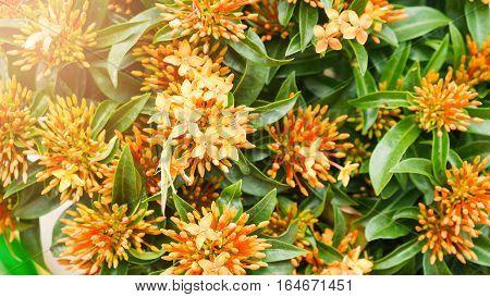 Orange Ixora Flowers Flowers as a sign of Intelligent.