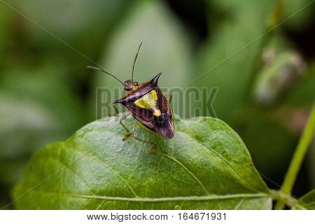 Close up view of real marmorated stink bug or known as Halyomorpha halys for insects macro photography commercial