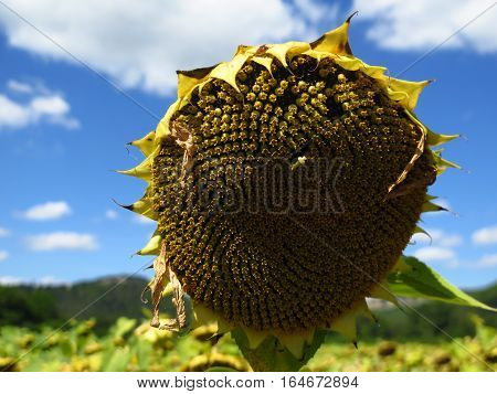 A wilting sunflower standing out amongst a sea of it's own kind with a hill range and a picturesque blue sky. Taken in the South Of France.