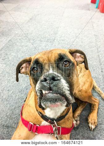 Snaggletooth Boxer Dog