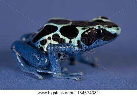 Poison dart Frogs in studio with blue background