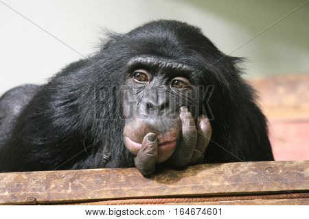 Chimp Common chimpanzee (Pan troglodytes) ape hand on face sad