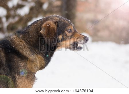 Barking enraged angry dog outdoors. The dog looks aggressive dangerous and may be infected by rabies. Angry dog in the snow. Furious dog. Angry and aggressive dog showing teeth