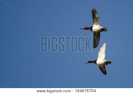 Ring-Necked Ducks Flying in a Blue Sky