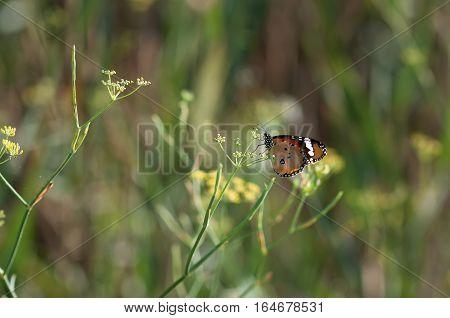 Butterfly orange in landlord green in the field