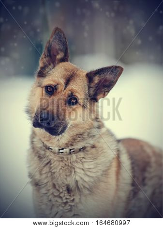 Portrait of a dog of breed sheep-dog in the open air in the winter.